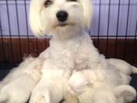 Maltese young puppies will be here quickly. They are
