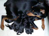Ckc Registered Miniature Doberman Pinscher puppies.