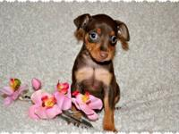 I have 2 chocolate female miniature pinscher puppies