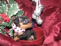 Our Miniature Pinscher Puppies are tan & black will be