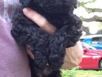 CKC Registered Black Female Miniature Poodle Puppy.