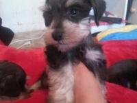 I have 5 miniature schnauzer puppies 2 females $500 3