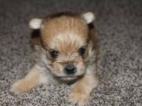 I have 5 CKC registered Morkie Puppies. There are 3