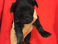 Female Morkie Puppy. She will be ready towards the end
