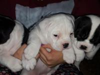 Two male and three female Olde english Bulldogges. CKC