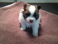 Ckc Registered Parti Pomeranian pup Beautiful markings,
