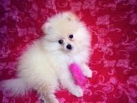 Extremely adorable Pomeranian Puppy He is 10 weeks old