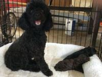 CKC Registered Poodle Puppies. I have three litters of