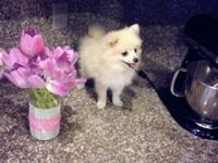 I have super tiny White Pomeranian Puppy He is 11 weeks