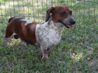 Chocolate Chip is a three year old male piebald