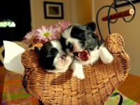CKC registered, male Shih-Tzu babies with beautiful