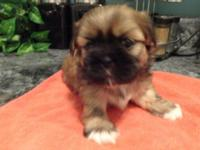CKC signed up Shih'tzu puppies 5 weeks old, will be all