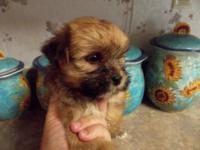 Shorkie young puppies are 8 weeks aged today 5-29-14