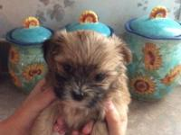 Beautiful Shorkie puppy's Ckc registered raised in our