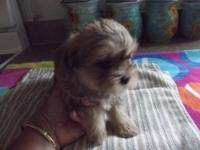 Beautiful little shorkie -Tzu puppy's have been raised
