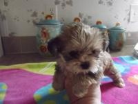 Beautiful Shorkie-tzu puppys have been raised inside