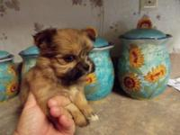 Shorkie-tzu new puppies will be 8 weeks old on Thursday