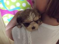 Adorable shorkie -tzu puppy's they have been raised