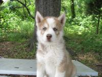 We have two CKC registered siberian husky puppies, one
