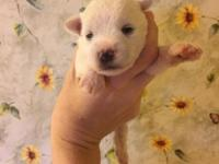 Male and female snorkie puppies. Will have first shot,