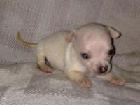 Ckc signed up teacup female chihuahua puppy $350.00.