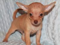 I have male teacup Chihuahuas . They are super cute.