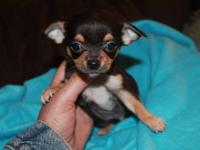 I have a beautiful male Chihuahua puppy . He is CKC
