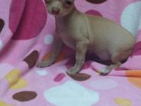 CKC registered fawn male Chihuahua puppy. This little