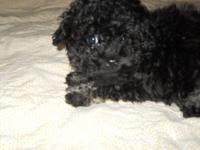 I have one male Tecup Poodle. He was born 9/28/14, were
