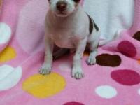 CKC registered white and chocolate male Chihuahua