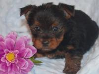 I have 2 teacup yorkies one male and one female.$650.00
