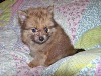 CKC Registered Male Pomeranian Puppy. Born August 16,