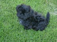 This is a CKC Registered Tiny Imperial Shih Tzu puppy