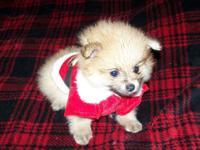 CKC Registered Tiny Male Pomeranian Puppy. Born