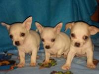 UPDATE -----ONLY 2 LEFT----CKC Registered Tiny Toy