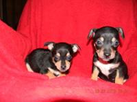 Ckc registered tiny toy chihuahua puppies..ready for