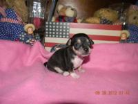 CKC registered tiny toy chihuahua puppies..2 females 1