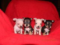 Ckc registered tiny toy chihuahua puppies..(ONLY 1 MALE