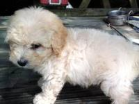 CKC Registered Male Toy Poodle born June 24, 2013. He