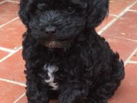 CKC Registered Toy Poodles for sale. Tails have