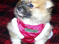 CKC Registered Tri-Color Female Puppy. She was born