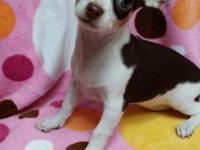 CKC signed up white and chocolate female chihuahua