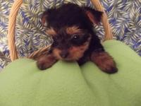 Beautiful yorkie puppy I have 1 female left she was