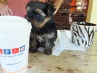 I am selling a very tiny female Yorkshire Terrier she