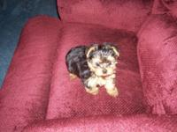 I have for sale one little male Yorkie young puppy. He