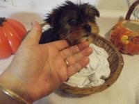 Valuable male yorkie puppy's ready for a caring home