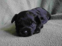 Sweet, sweet baby! This all black male yorkie poo is 3