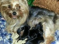 I have male and female Yorkshire terrier puppies ready