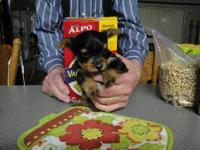 I have 2 female Yorkshire terrier puppies ready for