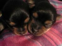 CKC registered Yorkie Puppies, I have 2 males all set